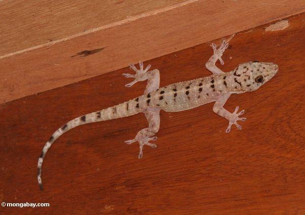 Geckoeidechsesorte mit schwarzen Markierungen