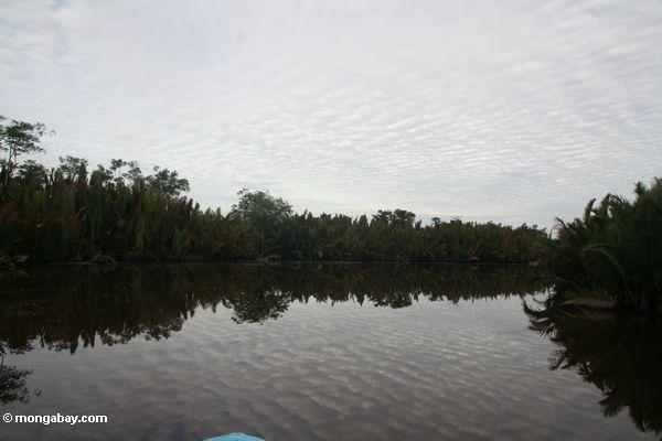 Nipa Palmen entlang dem Seikonyer Fluß