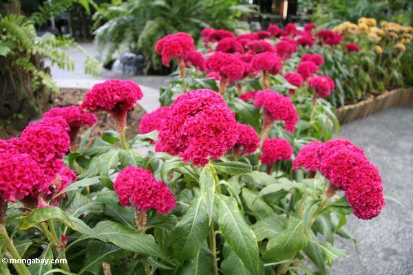 Fuschia-farbige Blumen
