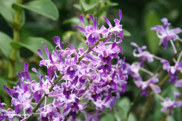 Purpurrote Orchideen
