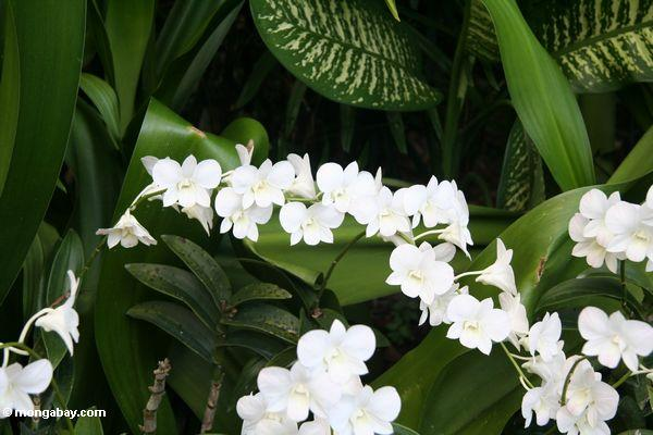 White orchids (Singapore Botanical Gardens)