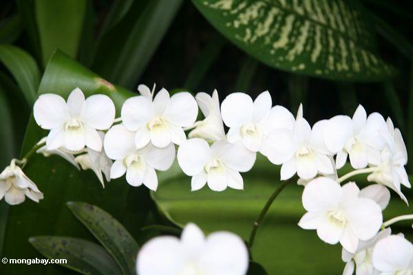 Weiße Orchideen