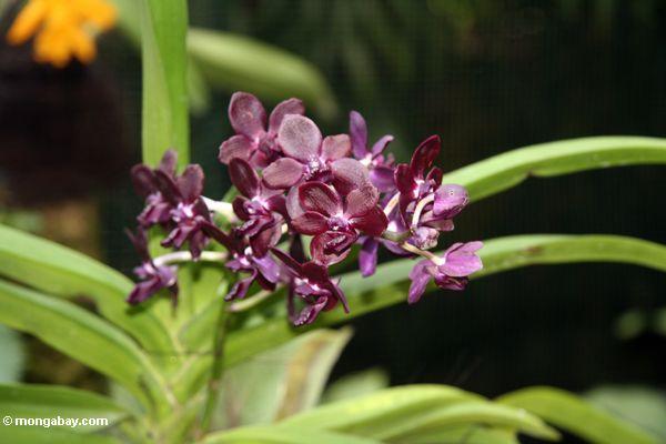 Kastanienbraune Orchideen