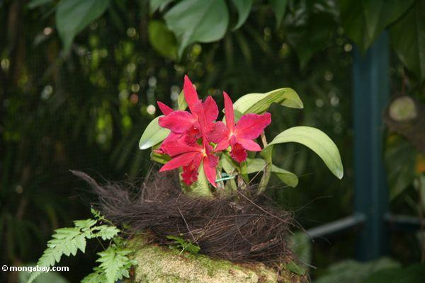 Red orchids (Singapore Botanical Gardens)