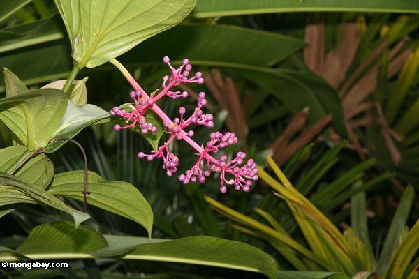 Pinkish-purpurrote Blume knospt