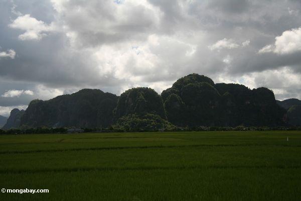 Sulawesi Kalksteinberge mit Reis fängt im Vordergrund