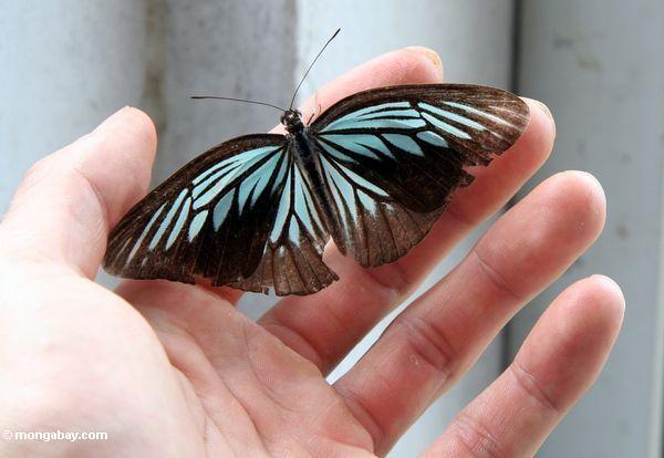 Irisierender Türkis und schwarzer Schmetterling in der Hand