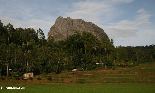 Reis fängt mit Gebirgsspitze Hintergrund
