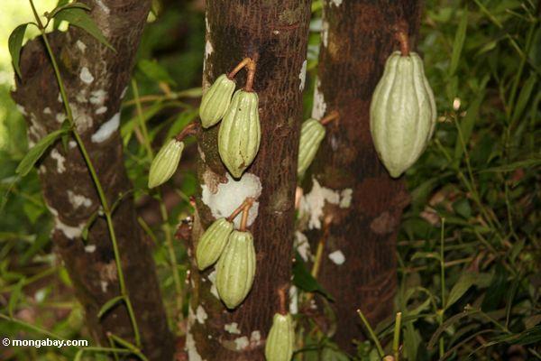 Unausgereiftes grünes Kakaohülsen