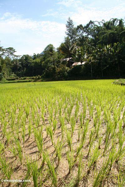 Reis fängt Lemo