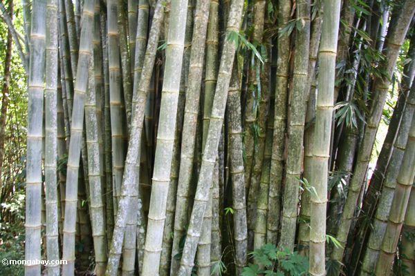 Riesiges Bambus