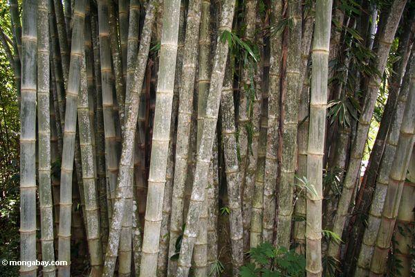 Riesiges Bambus (Dendrocalamus giganteus)