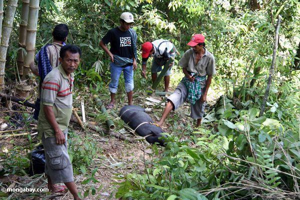 Männer, die sich vorbereiten, ein Schwein Toraja