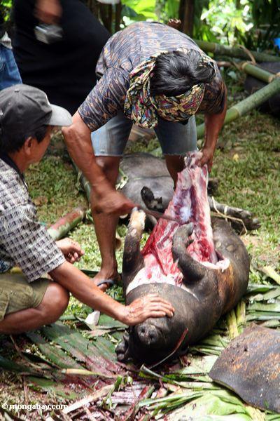 Gemetzel eines Schweins an einer Begräbnis- Zeremonie im Toraja Land