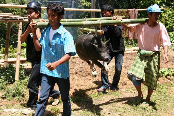 Männer, die Schwein für Gemetzel Tongkonan am Begräbnis- Toraja