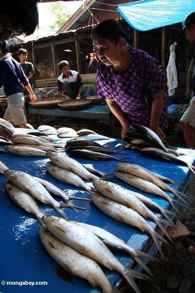 Vorwählend unter Fischen am Markt in Rantepao