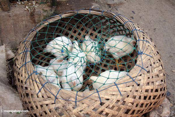 Weiße Hennen am Markt in Rantepao