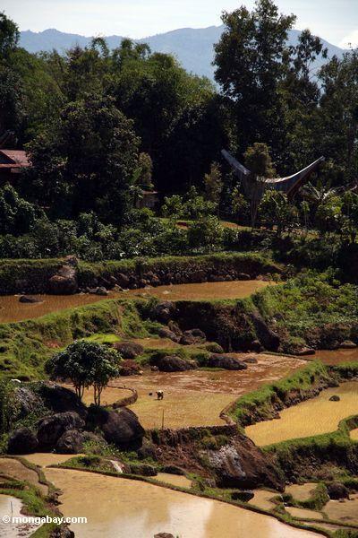 Reispaddys von Batutomonga