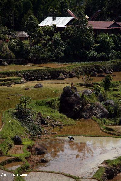 Arbeiter in den Reispaddys von Batutomonga