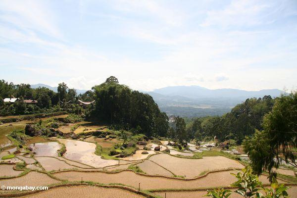 Terassenförmig angelegte Reispaddys von Batutomonga