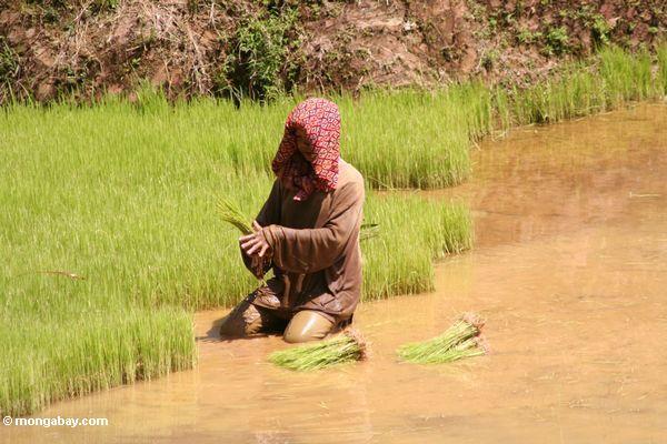 Frau, die im Reispaddy Toraja