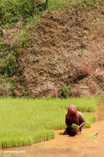 Die Frau, die Reis fangen errichtet innen,