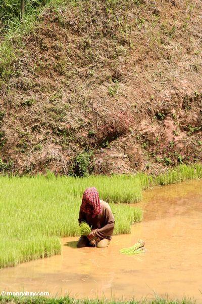 Frau, die grünes Reis Toraja