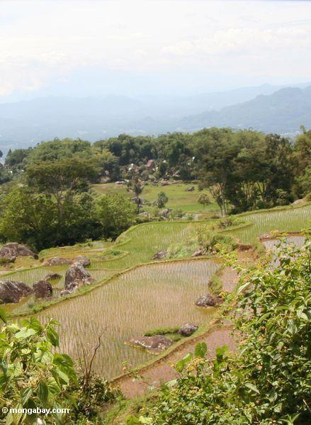 Grüne Reispaddys von Batutomonga