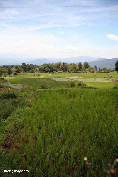 Reispaddys nähern sich Batutomonga Dorf