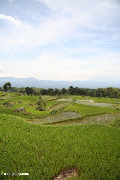 Reis fängt nahe Batutomonga Dorf