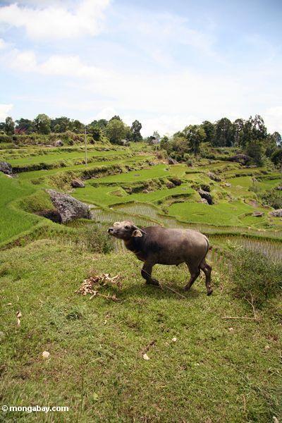 Büffel im Reispaddy Batutomonga Toraja