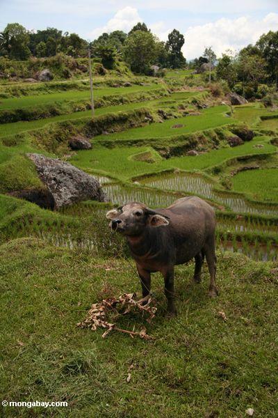 Wasserbüffel im Reis fangen nahe Batutomonga Dorf