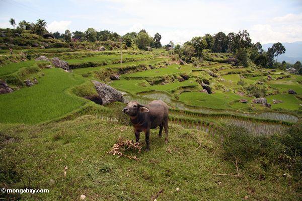 Wasserbüffel im Reis fängt nahe Batutomonga Dorf
