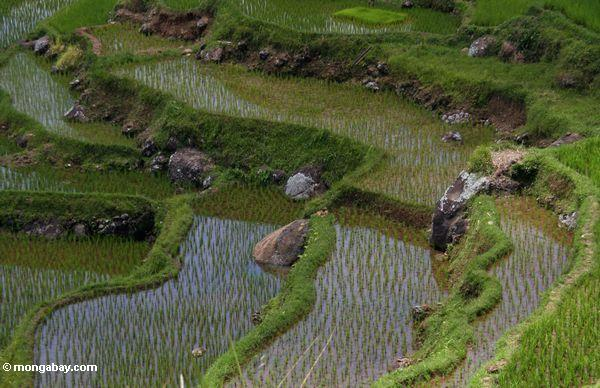 Reispaddys bei Batutomonga