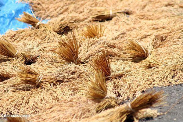 Сушка риса на batutomonga