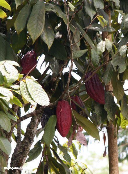 красный какао стручка