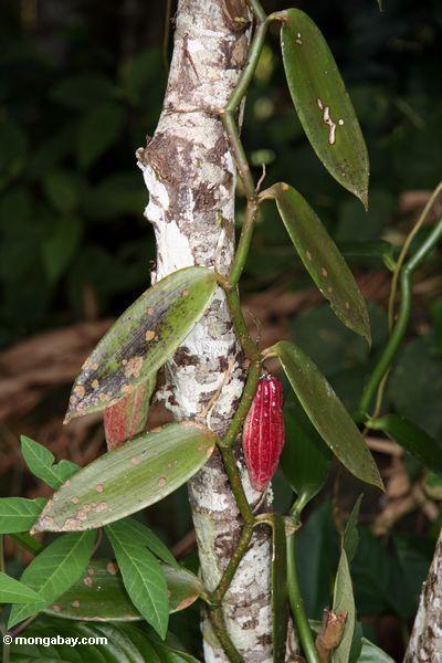 Kakaohülse mit Vanillebetriebs