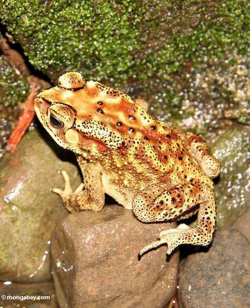 желтые и коричневые жаба Bufo melanostictus с черными разметка