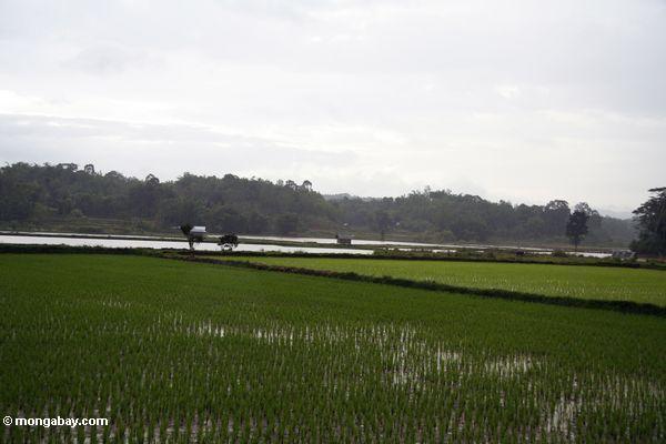 Flacher Reis fängt