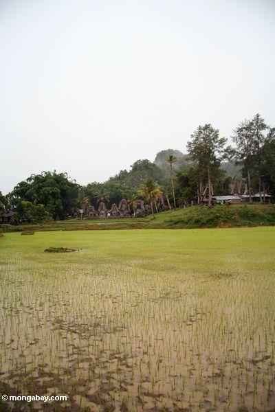 мутный рисовых полей