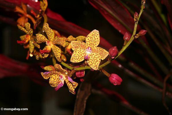 Orange Orchidee mit Magenta beschmutzt