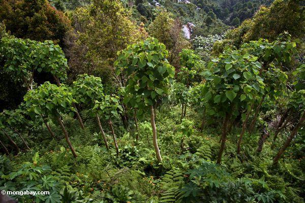 Young teak trees growing in a plantation in Sulawesi, Indonesia. Photo by: Rhett A. Butler.