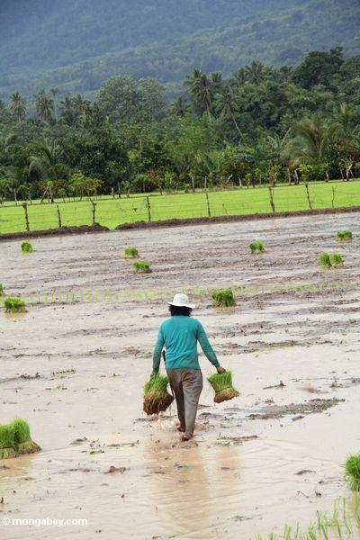 imahen: babae pagdala buwig-buwig ng rice halaman para sa Pagtatanim