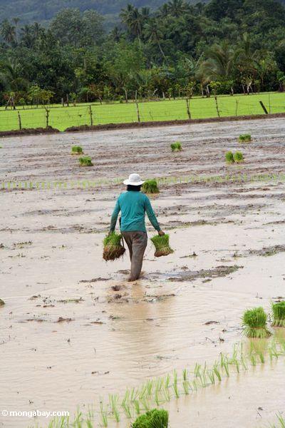 Frau, die durch Schlamm schleppt, während tragende Bündel Reispflanzen für das Errichten
