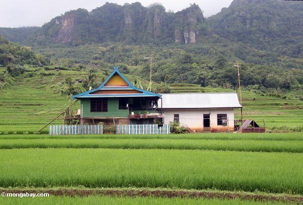 Buntes Haus unter grünem Reis fängt von SüdSulawesi