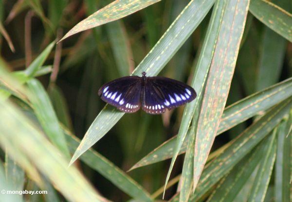 Schwarzer Schmetterling mit blau-purpurroten Markierungen auf seinen Flügeln
