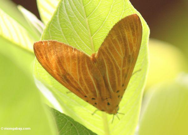 Orange Motte