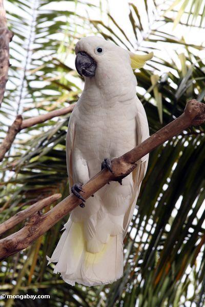 Yellow-crested Cockatoo (Cacatua sulphurea)