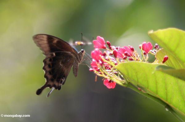 Butterfly feeding on pink flower in Bali