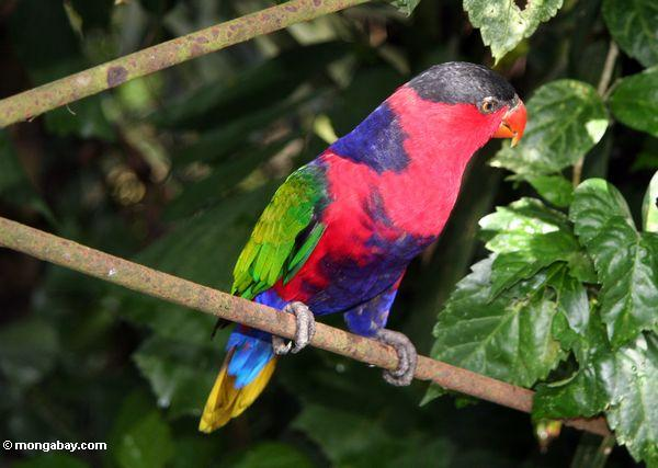 Black Capped Lory – Lorius Lory